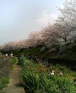 佐保川沿いの桜並木 なぜかアヒルが1羽